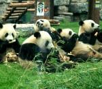 Все панды мира